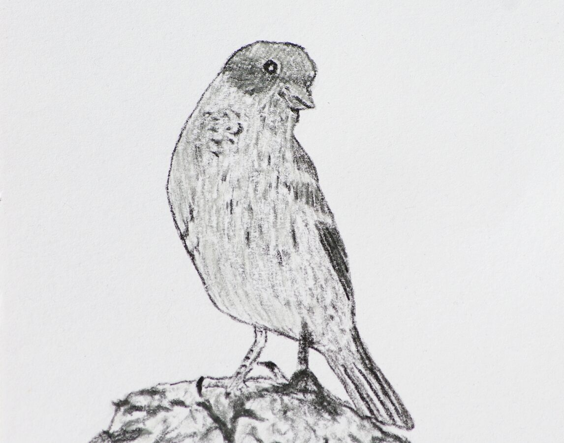 Sparrow in charcoal